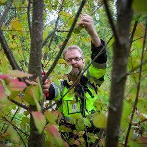 Kaupungit taimistopuutarhuri leikkaa kuolleita oksia katsurasta.