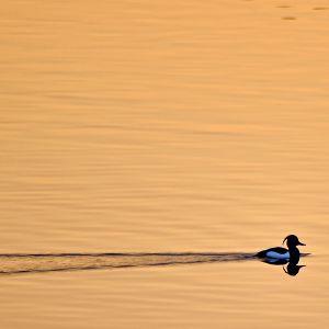 Tukkasotkauros ui auringonlaskun aikaan.