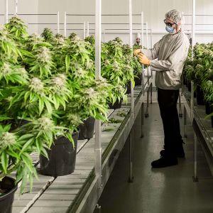 Canopy Growth Corporation -yritys kasvattaa kannabista Smiths Fallsissa, Kanadassa 23.7.2019