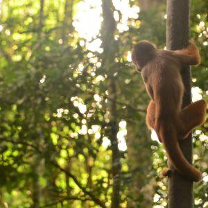 Kapusiiniapina Amazonin sademetsässä.