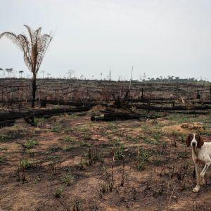 Koira taustallaa metsäpalon polttama alue.