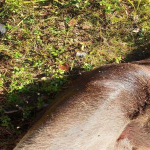 Hirvikärpäsiä pörrää kaadetun hirven ympärillä