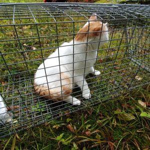 Loukkuihin käyvät villikissojen lisäksi sellaiset lemmikkikissat, joiden omistajat suhtautuvat niiden ulkoiluihin välinpitämättömästi. Lemmikit päätyvät löytöeläinhoitolaan, jos niitä ei voi tunnistaa.