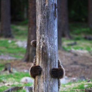 Karhu puun takana