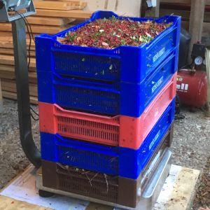 Jokaisen poimijan marjat punnitaan ja tuloksesta pidetään tarkasti kirjaa. Sunnuntaina saalis jäi 40-60 kiloon per poimija, joskus on päästy yli 200 kiloonkin.