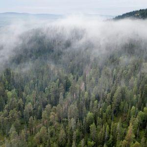 Ilmakuva sumusta metsän yllä Sallassa.