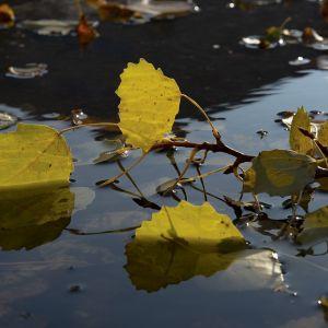 Kellastuneet lehdet vedessä.