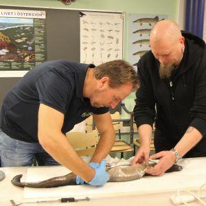 Arjan Palstra Wageningen yliopistosta ja Sami Vesala Luonnonvarakeskuksesta avaavat mätiä tuottanutta ankeriasta Kotkan Maretariumissa.