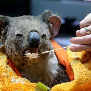 Palovammoja saanutta koalaa hoidetaan Port Macquarien koalasairaalassa.