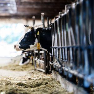 Lehmä kurkistaa karsinastaan saksalaisella maatilalla.