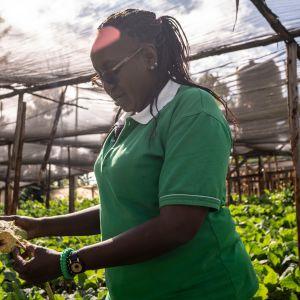 Viljelijä Fidelice Wanjiru tutkii lehtikaalia, josta lehtihome on tehnyt keltaisen. Runsaiden sateiden takia lehtihome on ollut normaalia suurempi riesa.