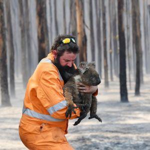 Pelastustyöntekijä koala sylissään Kangaroo Islandilla