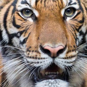 Bronxin eläintarhan Nadia-tiikeri.