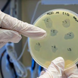 Petrimaljassa kasvaa bakteriofageja eli faageja.