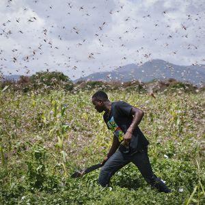 Kuvassa mies tekee peltotöitä heinäsirkkaparven keskellä Keniassa.