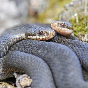 Kyykäärmeitä