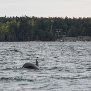 Taalintehtaan pullokuonodelfiini