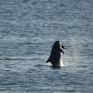 Pullokuonodelfiini hyppää.