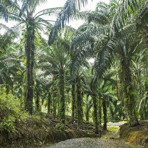 Kuvassa on palmuja palmuöljyplantaasilla.