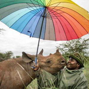 Valokuvateos, jossa sarvikuono nuuhkii tummaihoista sateenvarjoa pitelevää miestä.