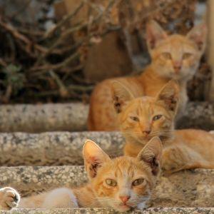 Kolme hiekanvästistä kissaa makailee portailla.