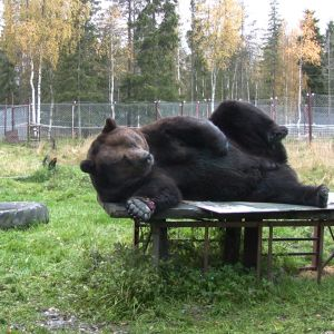 Juuso-karhu maalauspuuhissa.