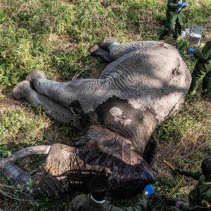 Valtavan urosnorsun nukuttaminen ja haavan hoitaminen on monimutkainen operaatio. Ilman hoitoa norsu saattaisi menehtyä tulehdukseen.