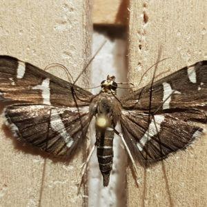 Spoladea recurvalis koisa -perhonen