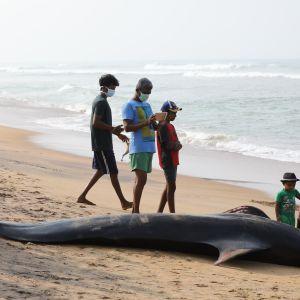 valaita sri lankan rannikolla