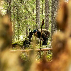 Biologi Risto Sulkava tekee tutkimustyötä metsässä