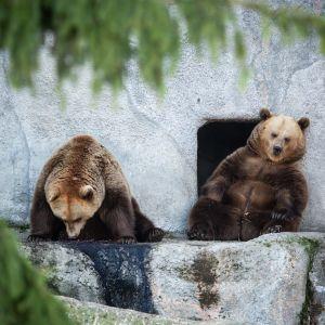 Kaksi karhua lepäilee pesäkolon oviaukolla.