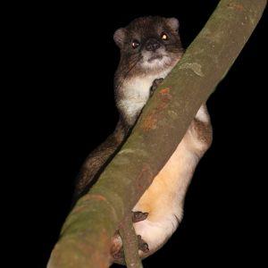 Putamaani puussa. Helsingin yliopiston tutkimusryhmä löysi Taitavuorilta Keniasta puutamaanin, joka saattaa kuulua tieteelle aiemmin tuntemattomaan lajiin.