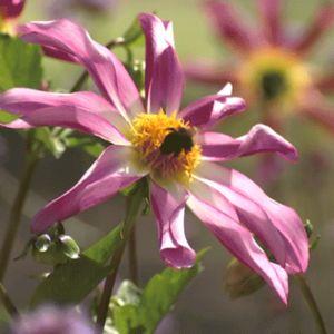 pörriäinen pinkissä kukassa