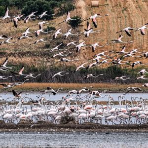 Flamingoja lähdössä lentoon ja osa lepäilee Agios Mamas- kosteikolla Kreikassa.