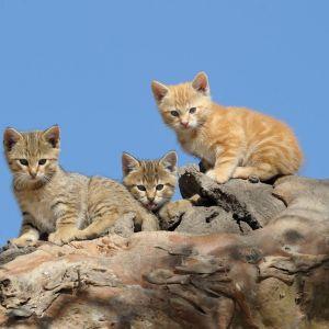 Kaksi harmaaraidallista ja yksi oranssinkirjava kissanpoikanen kaatuneen puunrungon päällä.