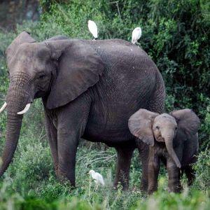 Norsuja kansallispuistossa Keniassa.