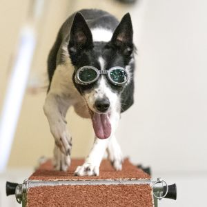 Koira, jolla on koirien silmälasit, juoksee esteen päällä katsojaa kohti.