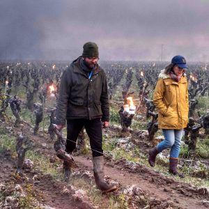 Viininviljelijät lämmittävät viiniköynnöksiä tulisoihduilla.