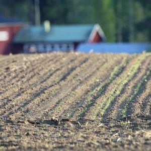 Vilja orastaa pellolla.