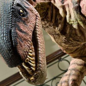 Lähikuva kameraa kohti kumartuvasta dinosaurusmallista museossa.