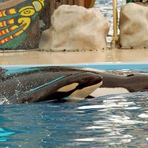 Miekkavalaan poikanen ui äitinsä kanssa Sea World -akvaarion altaassa.
