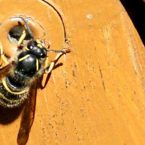 Kuvassa ampiainen paistattelee päivää puutarhatuolin kyljessä.