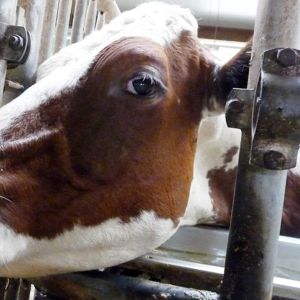 Kuvassa lehmä navetassa