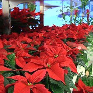 Kuvassa on rivi punaisia joulutähtiä.