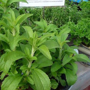 Steviaa kasvamassa ruukuissa