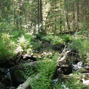 Ikimetsä lehtoa sananjalkoja ja pieni puro