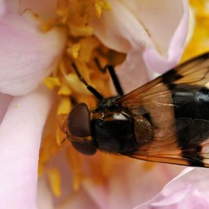 Kukkakärpänen vaaleanpunaisessa kukassa.