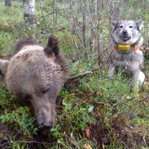Zorro-koira saaliinsa vieressä Ilomantsin Möhkössä
