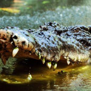 Krokotiili Cassius