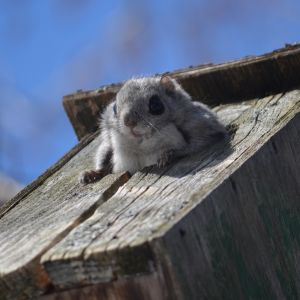 Liito-orava kurkistaa pöntöstä.